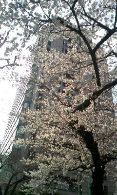"""""""2011.03.30. 桜(?)"""""""